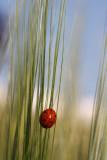 Seven-spot ladybird and blue sky