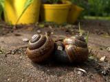 Mating copse snails (Arianta arbustorum)