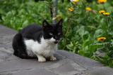 Black-and-white kitty