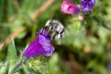 A wild bee