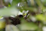 Female Blackbird on her nest