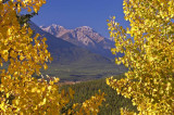 Fall aspen in Bow Valley