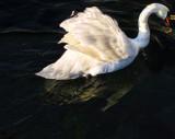 Swans 20