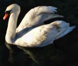 Swans 18