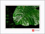 Shining Leaf