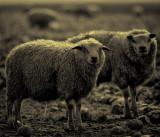 Leaking sheep