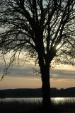 Tree at Seedorf