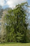 Tree at Putbus