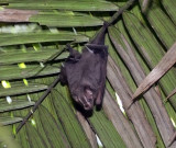 Large fruit-eating bat species (Ecuador)