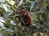 Red Howler Monkey (Ecuador)