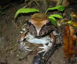 South American Bullfrog (Ecuador)