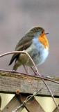Robin.pic - Copy_319x600.JPG