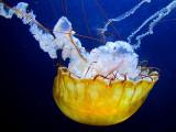 Un bonnet de bain jaune comme camouflage de méduse