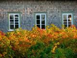 Buissons flamboyants