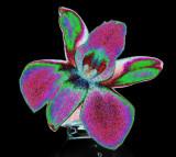 orchids  sous hydromorphone