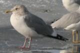 Mystery Gull O - possible Vega Gull