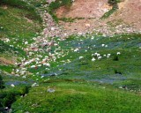 Over 40 Mtn Goats in Cispus Basin