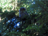 Barred Owl that I met on the trail
