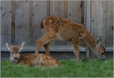 Columbia Blacktail Deer - fawns