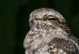 Birds - Nightjars