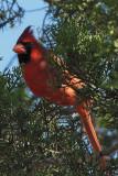 Tanagers, Cardinals Etc.