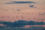 Sandhill Cranes fly out at sunset