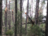 154 - One week before a violent storm hit Tenerife and caused devastation in this wood on the hills leading to Teide
