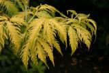 Sambucus racemosa plumosa aurea.JPG
