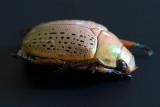 Christmas Beetle with babies