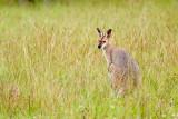 Wallaby II