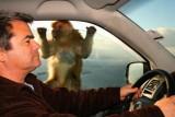 Ape at car window