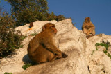 Apes of Rock of Gibraltar