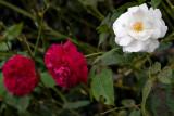 Black Spot, Leaf Cutters & Roses 19/03