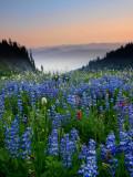 P8044346 Alpine Meadow in the Goat Rocks Wilderness.jpg