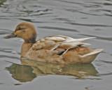 Mallard Hen Blonde Morphe - rare