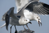 Laughing Gulls competing for space