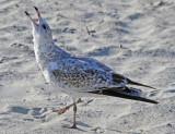 Herring Gull - Immature