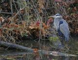 Late Season Blue Heron