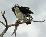 Osprey and Ladyfish
