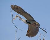 Great Blue Heron - Nest Construction