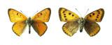 Extinct British Large Copper Butterfly (Lycaena dispar dispar)