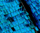 Wing scales of  a male Morpho didius butterfly