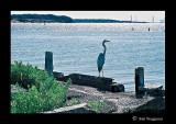 040530 Blue Heron 2E.jpg