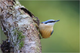 *** Nuthatch & Creepers ***