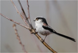 Long tailed Tit / Staartmees