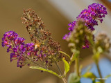 Butterfly Bush Visitor #2