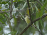 Flycatcher, Yellow Rump