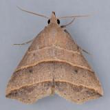 8411 Yellow-lined Owlet - Colobochyla interpuncta