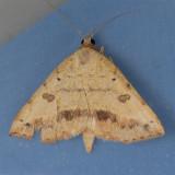8467  Variable Tropic Moth - Hemeroplanis scopulepes