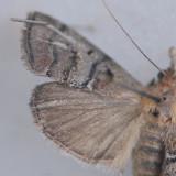 5602 Cloaked Pococera - Pococera subcanalis ***